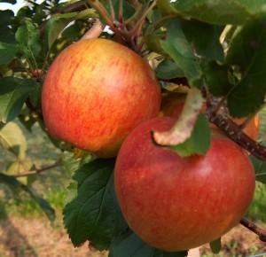 Obsthof Enders Apfelsote: Rubinette
